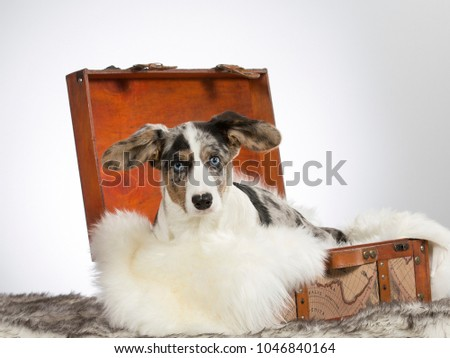Welsh corgi cardigan puppy is sitting in a wooden suitcase. Funny dog picture. Big ears and fluffy dog.