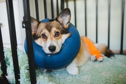 Welsh corgi dog after a knee surgery wearning an dog inflatable collar, staying in a crate
