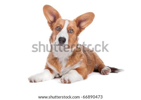 Welsh Corgi dog lying, isolated on a white background