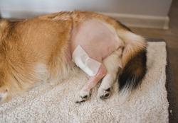 welsh corgi pembroke dog after a CCL sugery, tplo (tibia plateau leveling osteotomy)