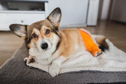 welsh corgi pembroke dog after a knee TPLO surgery, due to a CCL rapture, with a shaved leg
