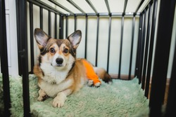 welsh corgi pembroke dog after CCL rapture TPLO surgery, resting in a dog crate