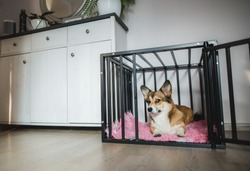Welsh corgi pembroke dog in an open crate during a crate training, happy and relaxed