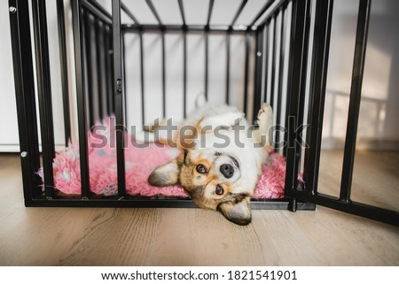 Welsh corgi pembroke dog in an open crate during a crate training, happy and relaxed Foto stock ©