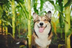 Welsh corgi pembroke dog outside in the cornfield portrat photo