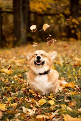 Welsh corgi pembroke dog plays with fallen autumn leaves and smile