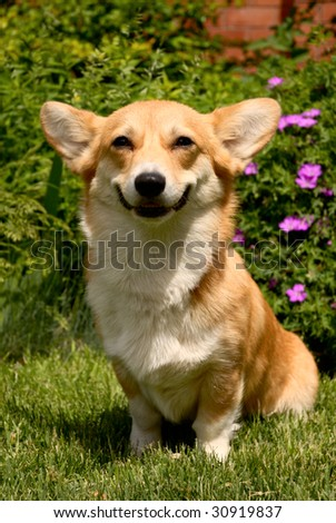 Welsh Corgi Pembroke dog sitting on the grass