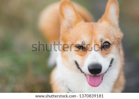 Welsh corgi pembroke dog smiling and winking to the camera, positive picture