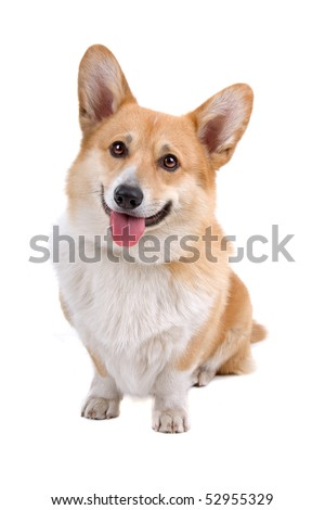 Welsh Corgi Pembroke dog sticking out tongue over white