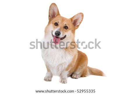 Welsh Corgi Pembroke dog sticking out tongue over white