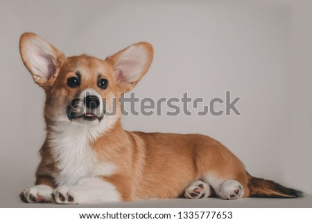 Welsh corgi pembroke puppy #1335777653