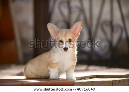 Welsh Corgi Pembroke Puppy