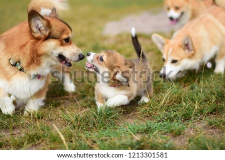 Welsh corgi pembroke puppy in group of dogs learning how to communicate with other dogs as a part of puppy socialization. 4 corgi dogs in the picture