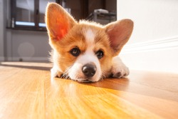 Welsh corgi pembroke puppy laying at home. Light effect. Animal safety. World Pet Day. Concept image for veterinary clinics, sites about dogs[