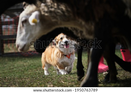 Welsh corgi Pembroke red-white color with a cropped tail grazing sheep. Sports standard for dogs on the presence of herding instinct. A beautiful and intelligent little shepherd dog. Stockfoto ©