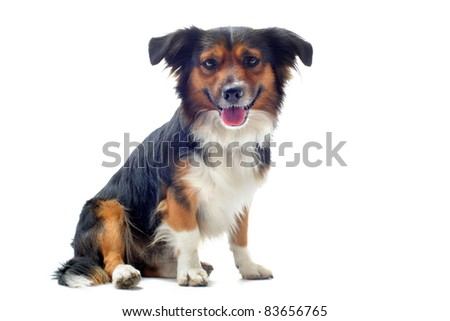 Welsh corgi pembroke sitting in front of white background