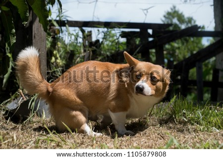 Welsh corgi  pooping #1105879808