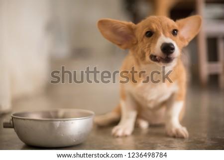 Welsh corgi puppy enjoys meal #1236498784