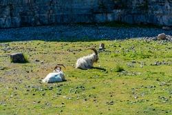 Welsh Kashmiri goats on Great Orme headland in Llandudno, Wales