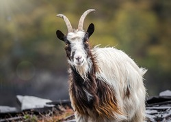 Welsh mountain goats wild in rocky slate quarry mine hillside. Bearded exploring hillside of Snowdonia will long hair and horns roaming the wilderness countryside with hillside behind.
