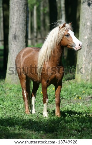 Welsh mountain stallion looking to his mare