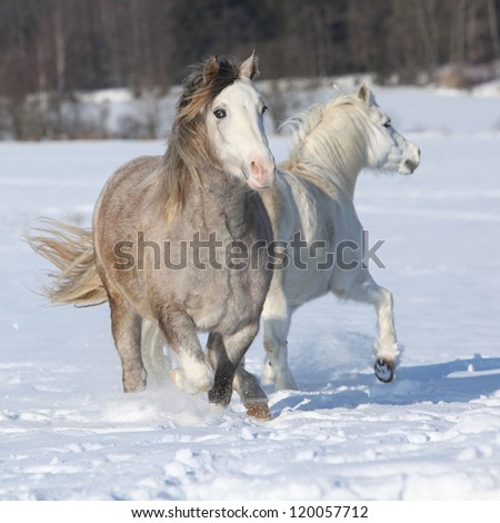 Welsh ponies, 2 years old grey mare and 16 years old white mare