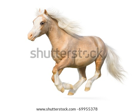 Welsh pony gallops - isolated on white