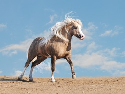welsh pony in a desert