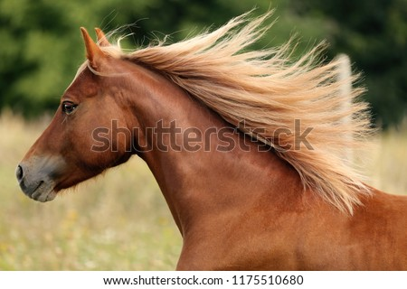 Welsh pony running and standing in high grass, long mane, brown horse galloping, brown horse standing in high grass in sunset light, yellow and green background