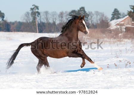 Welsh pony stallion runs gallop to the right