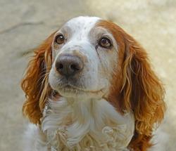 Welsh Springer Spaniel Dog Face