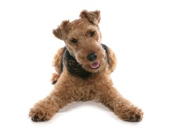 welsh terrier dog laying isolated on a white background