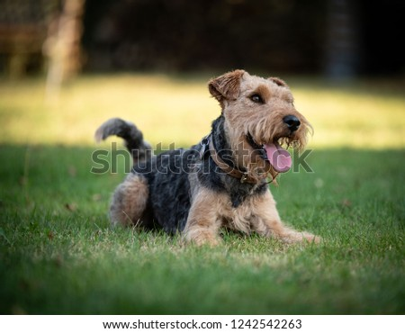 welsh terrier in the grass #1242542263
