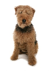 Welsh Terrier isolated on a white background