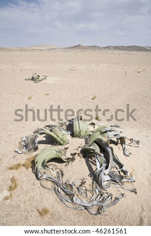 Welwitschia mirabilis, a living fossil, Republic of Namibia, Southern Africa