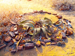 Welwitschia Mirabilis also named as living fossil, Petrified forest, Damaraland, Namibia