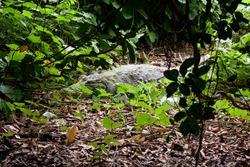 West African crocodile hiding in the bushes, Katchikally Crocodile Pool, Bakau, Gambia
