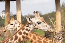 West African giraffe - Giraffa camelopardalis peralta - close up view on animals head
