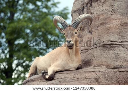 West Caucasian tur on rock background #1249350088