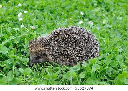West European Hedgehog in a grass