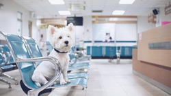 West high white terrier waiting for examination at the vet clinic.