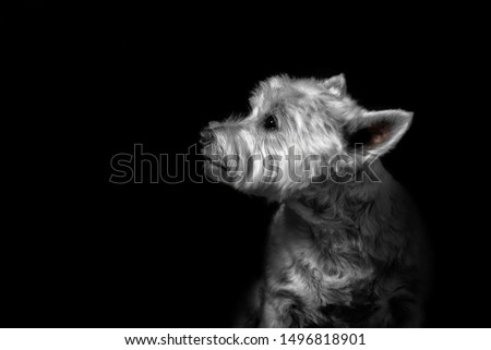 West Highland Terrier Fine Art Portrait