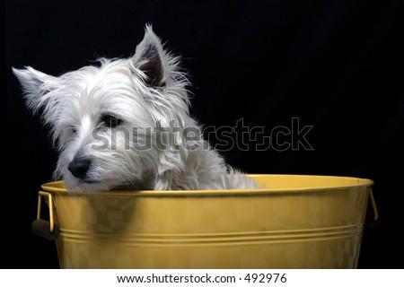 West Highland Terrier peeking out of a bucket