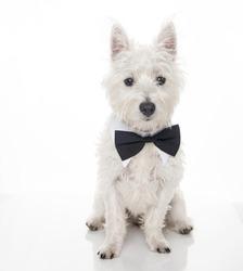 West Highland Terrier Puppy Wearing Black Bow Tie on White Background