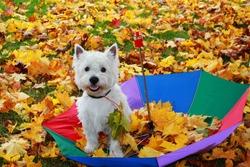 West Highland Terrier. White dog with umbrella in autumn.