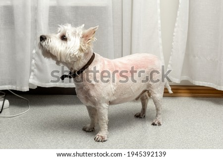 West highland white terrier after trimming. Trimmed westie. White dog. Incorrect trimming. Bad trimming. Skin irritation after trimming. Stock photo ©