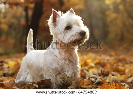 West Highland White Terrier - autumn scene lit by setting sun