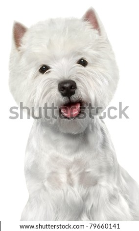 West Highland White Terrier. Close-up portrait on a white background