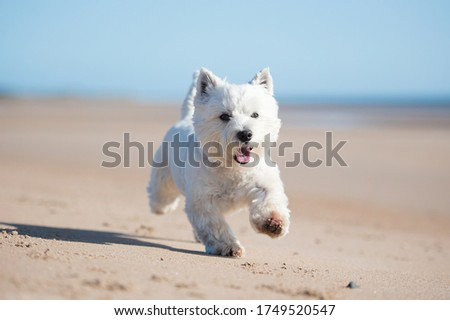 West Highland White Terrier Dog Foto stock ©