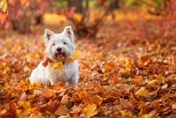 West highland white terrier Dog for a walk. Autumn.